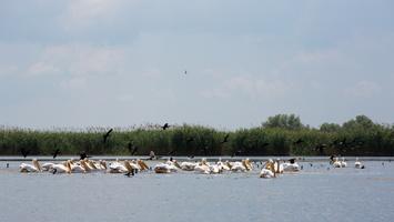Pélicans sur le lac
