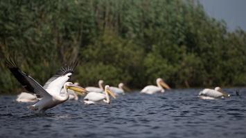 Pélicans blanc