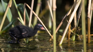 Jeune poule d'eau