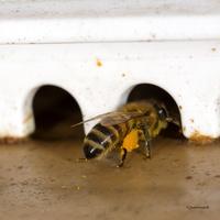 Abeille rentrant du pollen