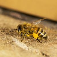 Chargée pelotes de pollen