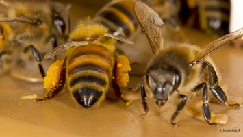 Pelotes de pollen