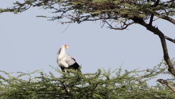 Secrétary bird
